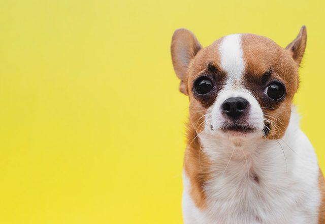 7 raças de cachorro para apartamento.